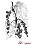 Black pepper, botanical vintage engraving. Vintage print describing Black pepper botanical morphology:perennial plant with dark red drupes containing a single Stock Images
