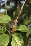 Black pepper with immature fruit, perennial climbing plant Royalty Free Stock Images