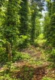 Black pepper plant Stock Images