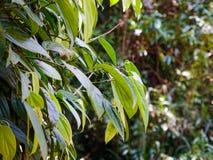 Black pepper plant in Sri Lanka royalty free stock images