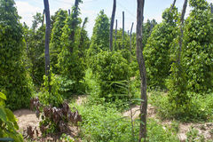 Black pepper plantation Stock Image