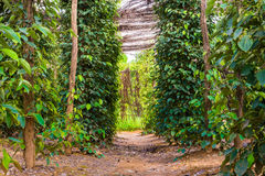 Black pepper plantation Royalty Free Stock Photography