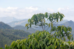 Black pepper plants growing in Munnar, Kerala Royalty Free Stock Photography