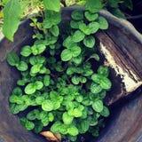 Black Peppermint plant Stock Photos