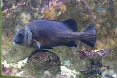 Black perch. Are also called black surfperch and butterlips. In spite of their name, , these fish are rarely, if ever, black. Their coloration can be orange stock photos