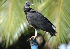 black perched vulture 库存照片
