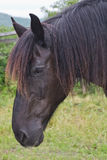 Black Percheron Draft Horse Head Shot Stock Photography