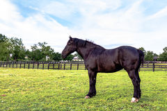 Black Percheron gelding. Standing in a spring pasture Royalty Free Stock Photography