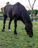 Black Percheron horse Stock Photography