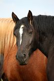 Black percheron stallion portrait in the herd Royalty Free Stock Photography