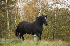 Black percheron trotting at the pasture Royalty Free Stock Image