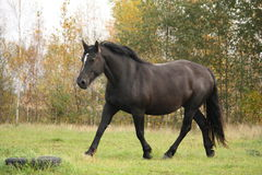 Black percheron trotting at the pasture Royalty Free Stock Images