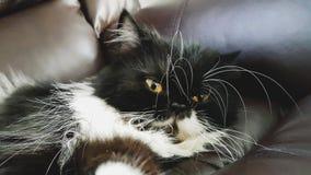 Black persia cat. Lying on sofa with yellow eye Stock Image
