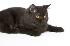 Black Persian Cat Royalty Free Stock Photography