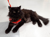 Black Persian cat Royalty Free Stock Images