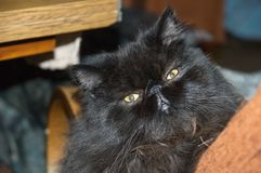 Black Persian cat with narrowed eyes. Black Persian cat with long black hair. He lies on the chair, looking out from behind the brown back. Her green eyes are Royalty Free Stock Photos