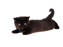 Black persian exotic kitten isolated. Playful beautiful cute black Persian kitten isolated on white Royalty Free Stock Images