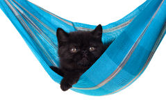 Black persian kitten in blue hammock isolated Royalty Free Stock Photo