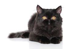 Black Persian kitten lying on white background Stock Images