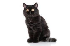 Black Persian kitten Stock Images