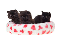 Black persian kittens heart soft bed isolated. Playful beautiful cute black Persian kittens with pink valentine heart printed soft bed isolated on white royalty free stock images