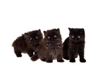 Black persian kittens isolated. Three cute black Persian kittens isolated on white Stock Photos