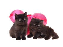 Black persian kittens valentine isolated. Two cute black Persian kittens isolated on white with pink satin heart for valentine stock photo