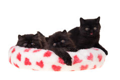 Black persian kittens valentine isolated. Three cute black Persian kittens isolated on white lying in heart fabric bed for valentine Stock Photos