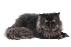 Black persian kitty cat Royalty Free Stock Photography
