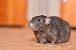 Black pet rat. Breed Dumbo fun runs around the room Royalty Free Stock Photos