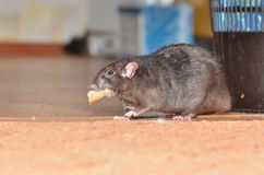 Black pet rat. Breed Dumbo funny found a piece of food Royalty Free Stock Photos