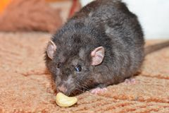 Black pet rat. Breed Dumbo funny found a piece of food Royalty Free Stock Photography