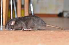 Black pet rat. Breed Dumbo fun runs around the room Stock Images