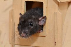 Black pet rat. Breed Dumbo funny looks out of the house Stock Image
