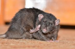 Black pet rat. Breed Dumbo scratching the back of his paw behind his ear Stock Photos