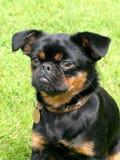 Black Petit Brabancon dog Stock Image