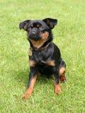 Black Petit Brabancon dog Stock Photography