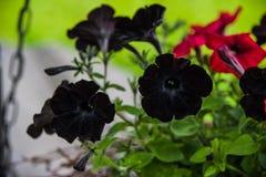Black Petunia Stock Image
