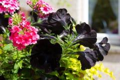 Black petunia in hanging basket. Black petunias in hanging basket in the home garden Stock Photography