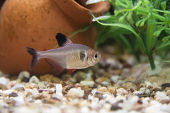 Black phantom tetra Stock Photo