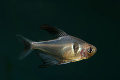 Black Phantom Tetra Royalty Free Stock Photos