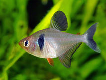 Black Phantom Tetra Stock Photography