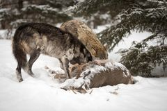 Black Phase Canis lupus and Grey Wolf Dig In to White-Tail Dee Stock Photos