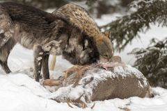 Black Phase Grey Wolf Canis lupus and Another Nose Into Deer C Royalty Free Stock Images