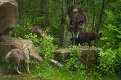 Black-Phase Grey Wolf Canis lupus Gathers Pups Royalty Free Stock Photo
