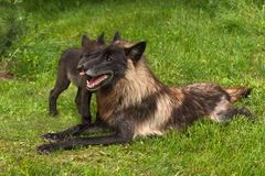 Black Phase Grey Wolf Canis lupus Gets Licked by Pup. Captive animals Stock Photos