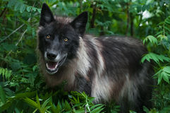 Black Phase Grey Wolf (Canis lupus) in Greenery Stock Photography