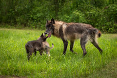 Black Phase Grey Wolf Canis lupus Greeted by Pups Stock Photo