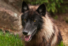 Black Phase Grey Wolf (Canis lupus) Head. Captive animal royalty free stock photography