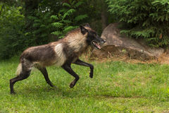 Black Phase Grey Wolf (Canis lupus) Jumps Forward Royalty Free Stock Photo
